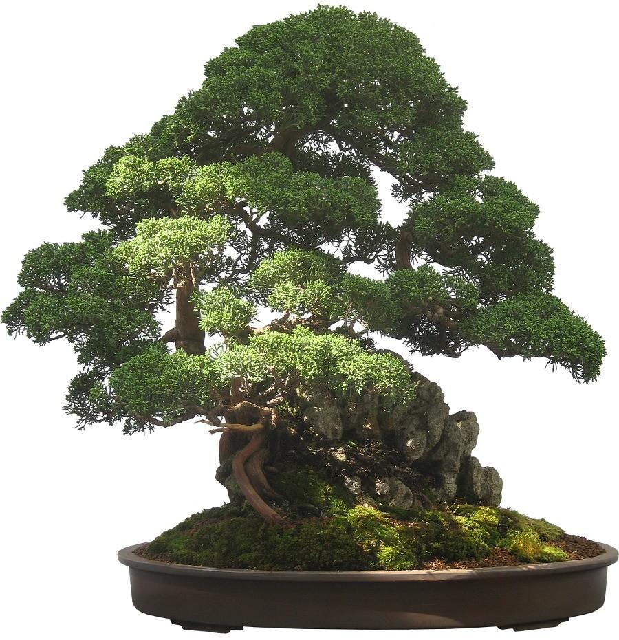 como cultivar bonsai